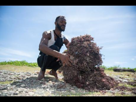 Sheldon Napier has been diving for Irish moss for 30 years.